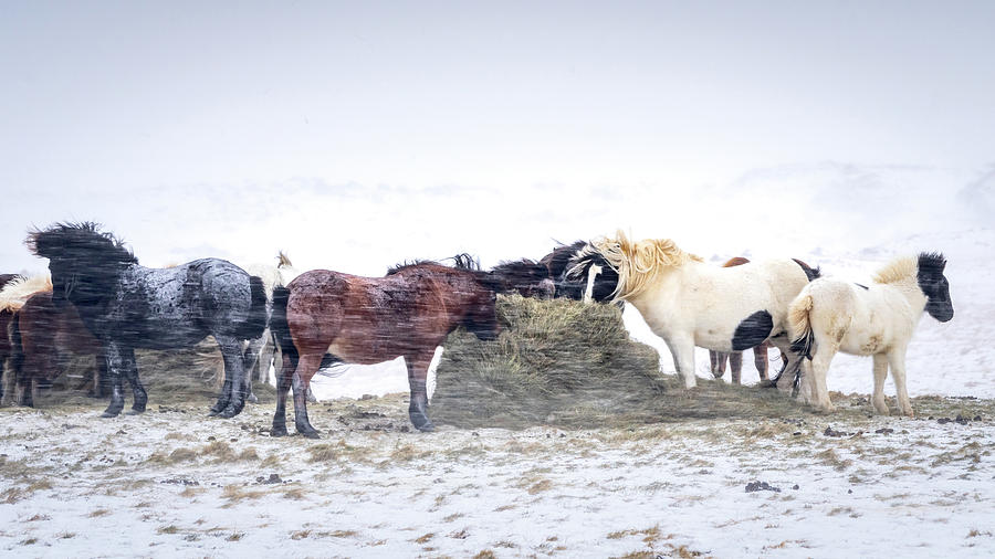 Iceland Photograph - Winter Horses by Framing Places