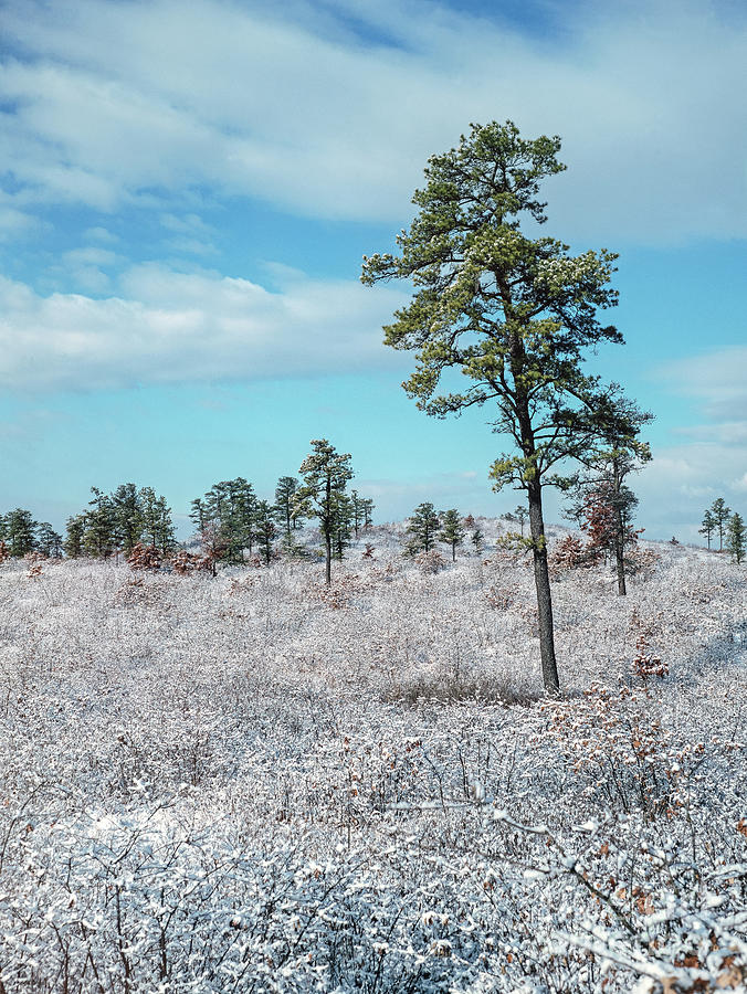 Winter in the Pine Bush by Alan Schroeder