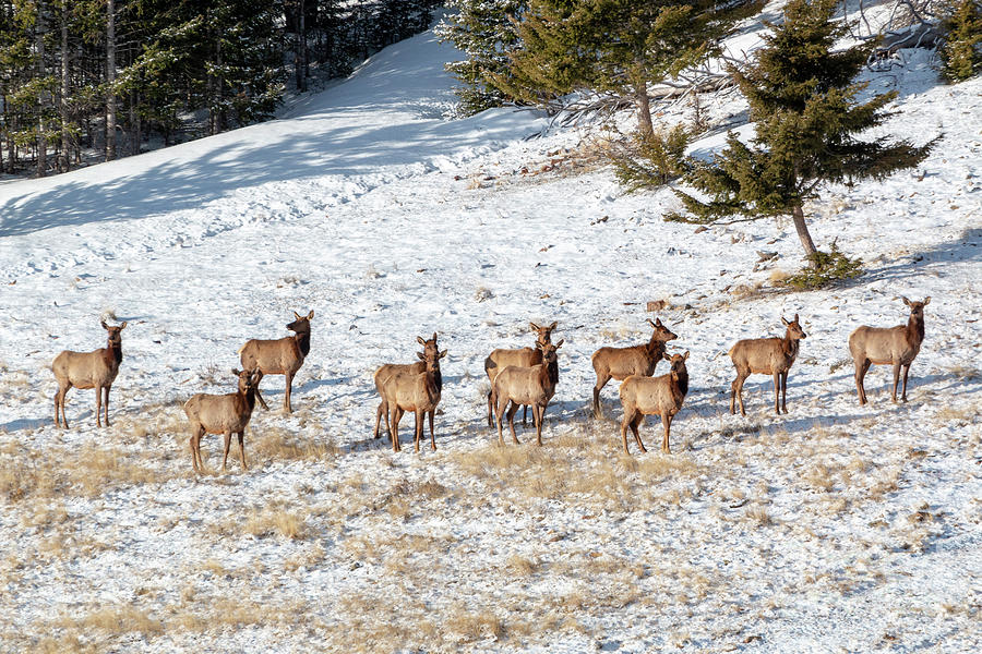 Winter Morning Elk Herd Photograph