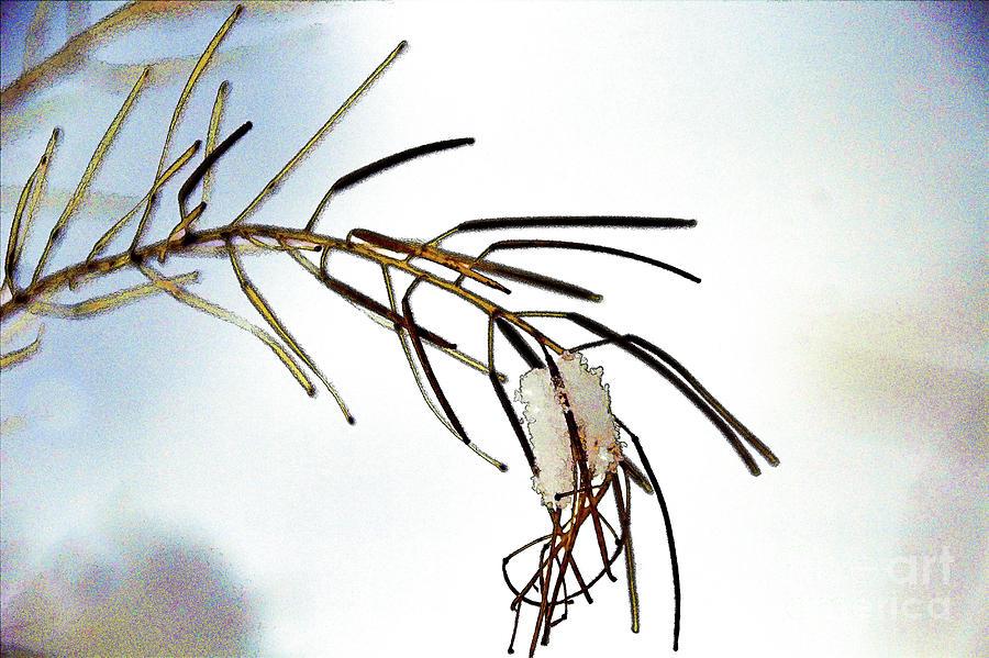 Winter Needles by Roland Stanke