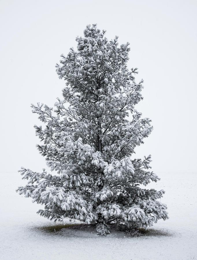 Winter Pine by Charlie Jones