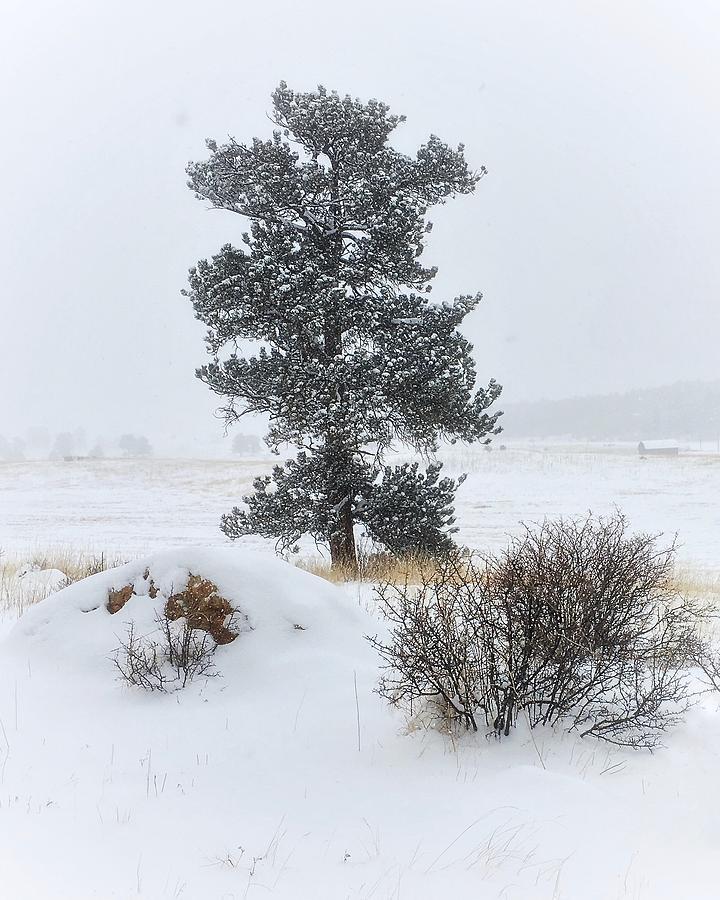 Winter Pine by Dan Miller