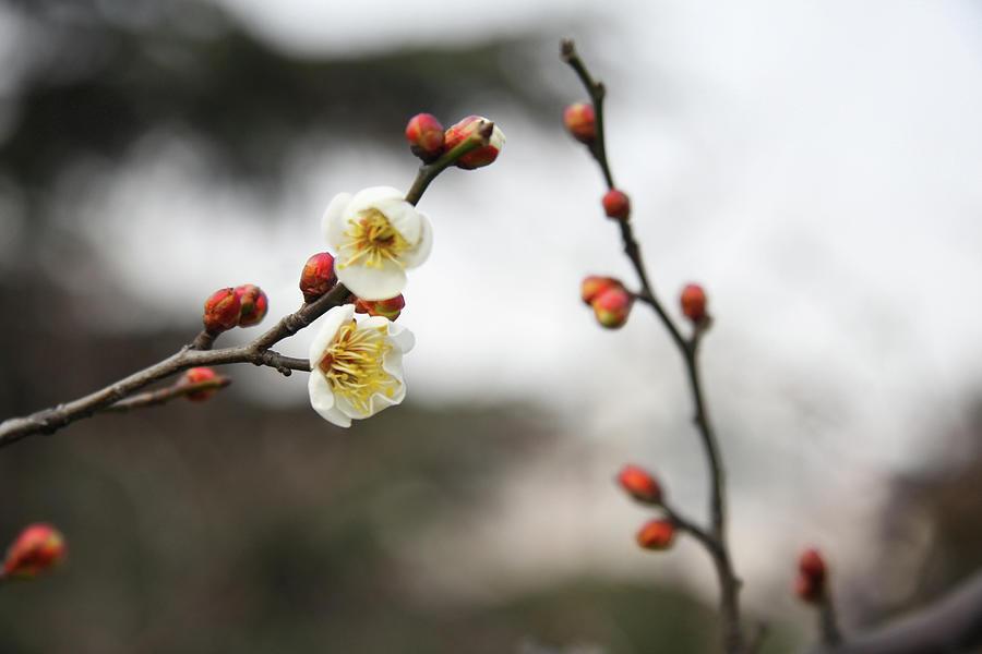 Winter Plum Blossom In Shanghai Photograph by Bingopixel