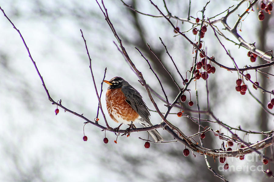 Winter Robin by Sheila Skogen