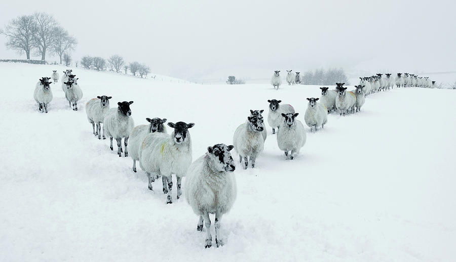 Winter Sheep V Formation Photograph by Motorider