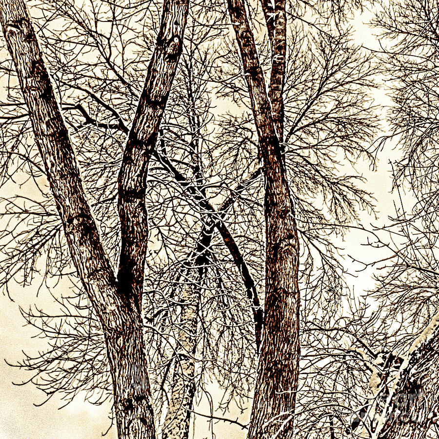 Winter Trees by William Norton
