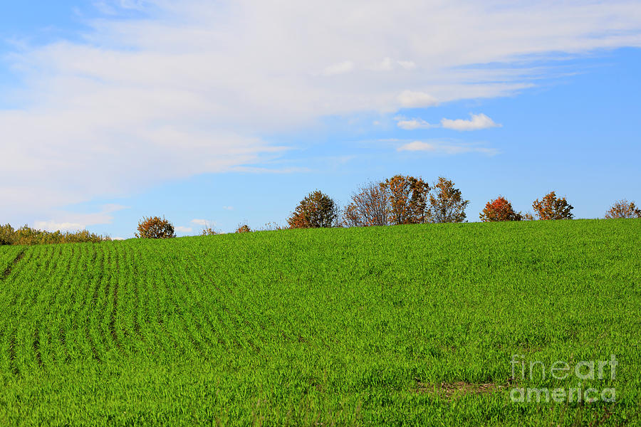 Autumn Photograph - Winter Wheat In October In Southern Ontario by Louise Heusinkveld