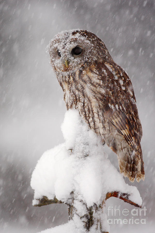 Magic Photograph - Winter Wildlife Scene With Tawny Owl by Ondrej Prosicky