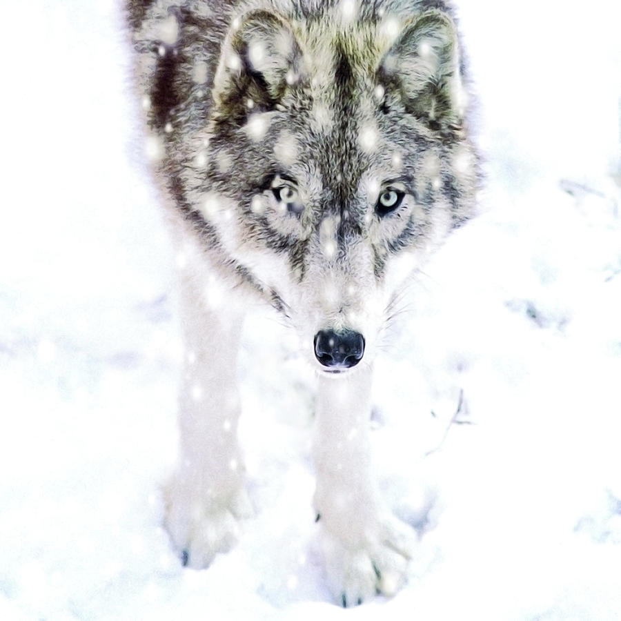 Winter Wolf Photograph by Alison Archinuk
