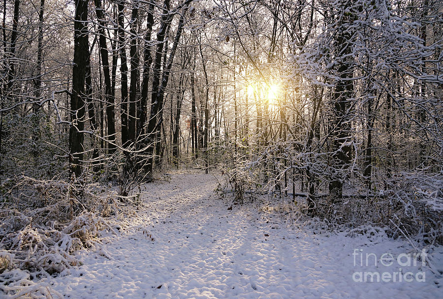 Winter Woods Sunlight by Rachel Cohen