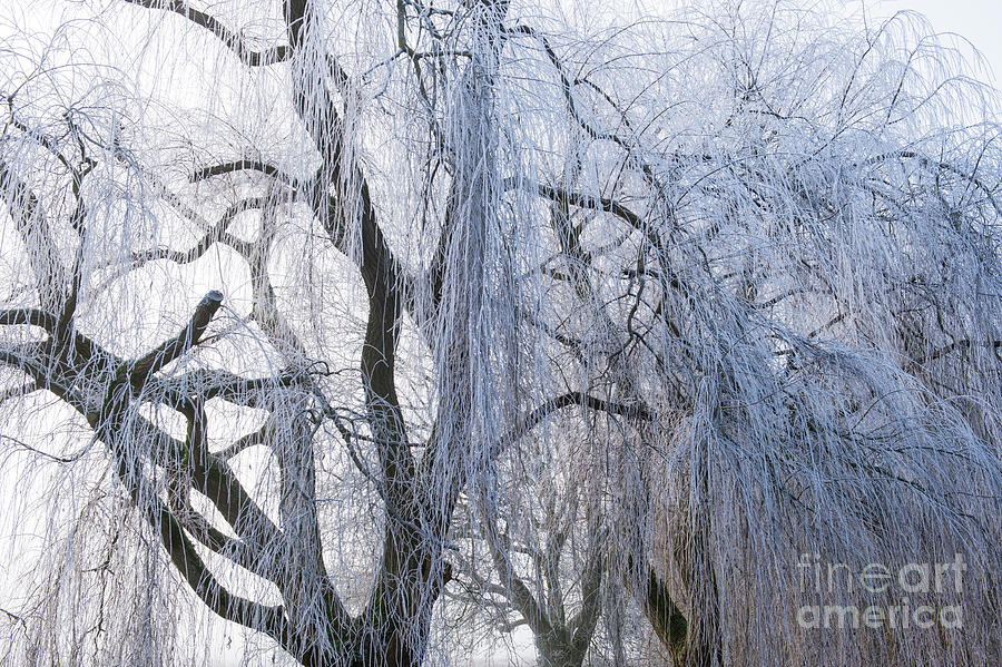 Weeping Willow Photograph - Wintry Weeping Willow by Tim Gainey