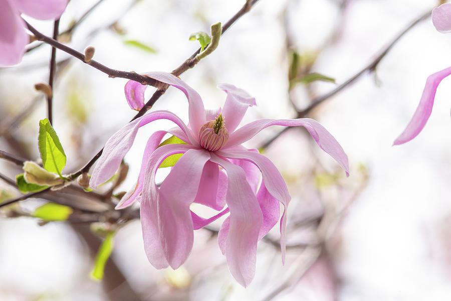 Wispy Pink Petals 2 by Lynn Hopwood