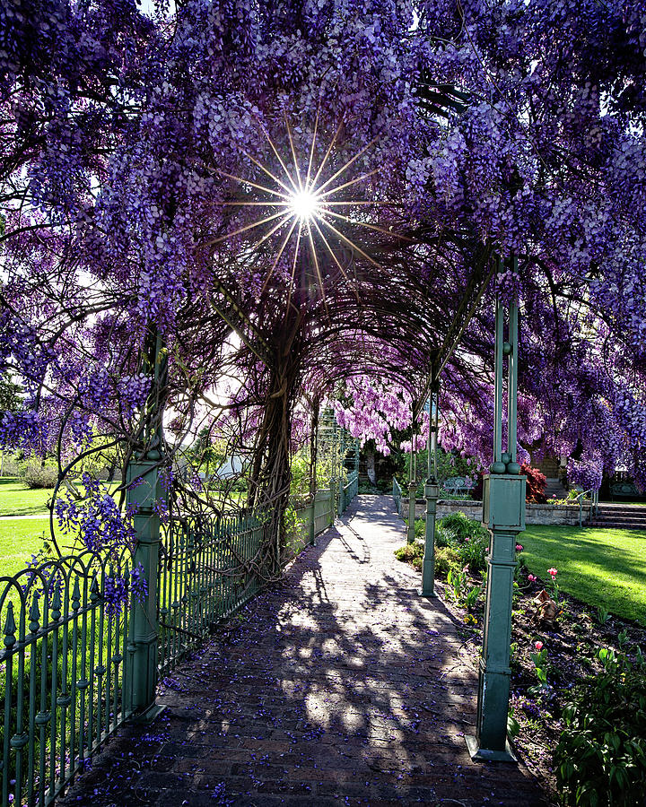 Wisteria by Lana Trussell