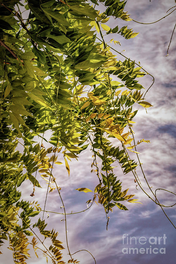 Wisteria Leaves Against Warm Sky Photograph By Roslyn Wilkins