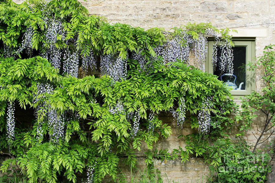 Wisteria Photograph - Wisteria On A Cotswold Stone House by Tim Gainey