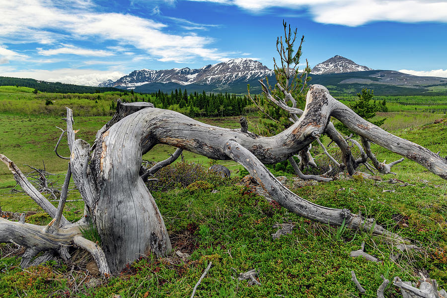 Withered Tree in the Rockies by Rick Berk