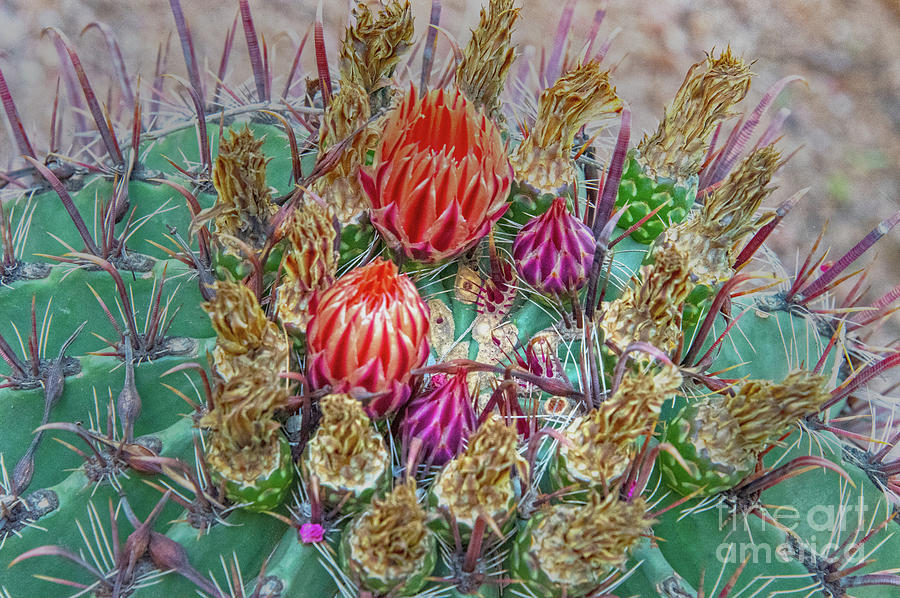 Cactus Photograph - Withering Beauty by Mae Wertz