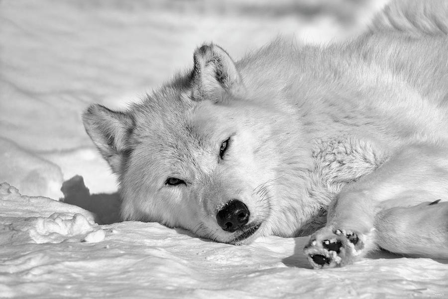 Wolf Photograph - Wolf B&w 4422 by Gordon Semmens