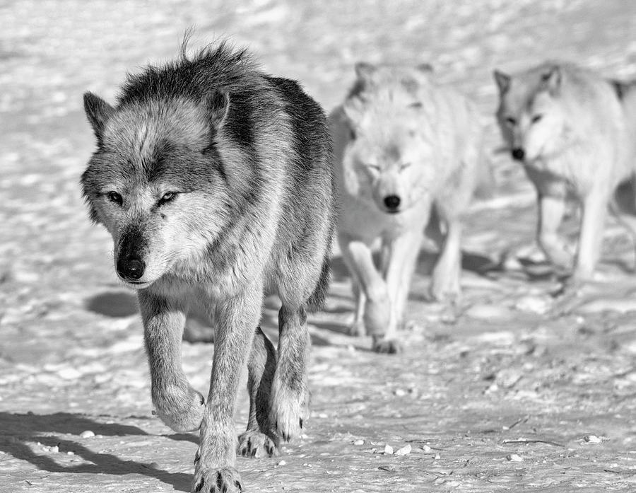 Wolf Photograph - Wolf B&w 4593 by Gordon Semmens