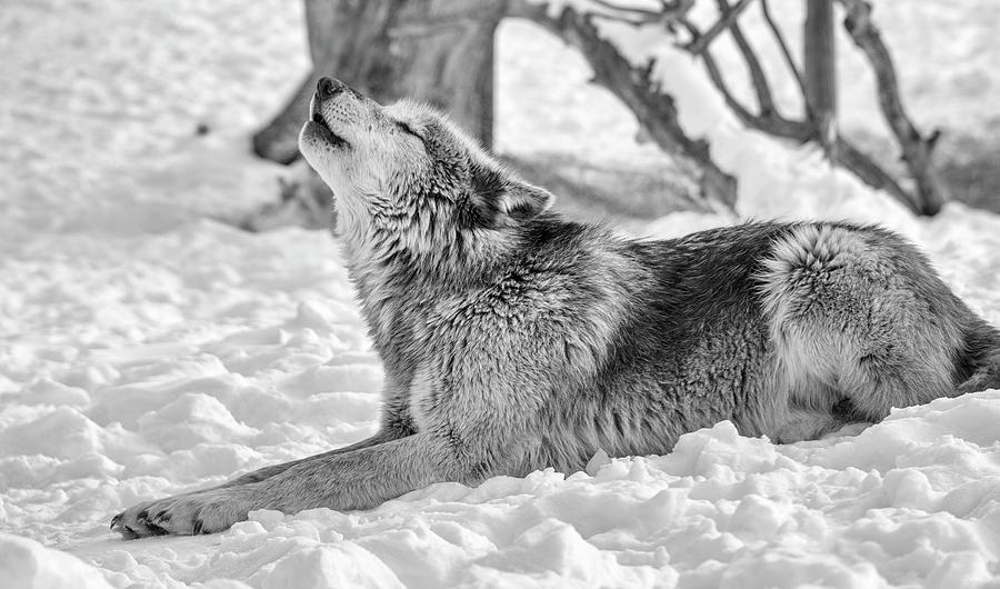Wolf Photograph - Wolf B&w 4853 by Gordon Semmens