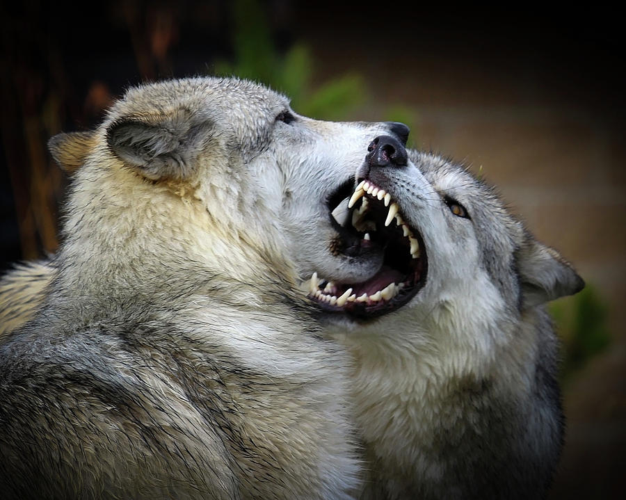 Wolf Fight Photograph by Thanks! Steve Mckinzie