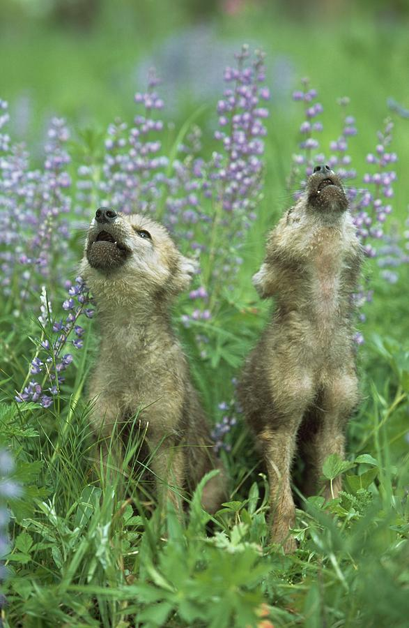 Wolf Puppies Howling In Meadow Photograph by Design Pics / David Ponton