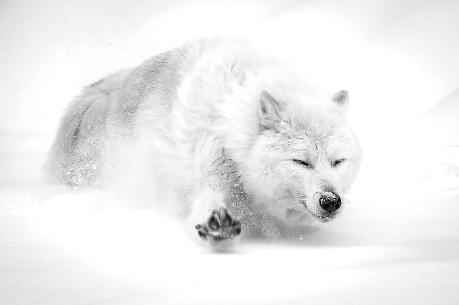 Wolfs Winter Slide Bw Photograph