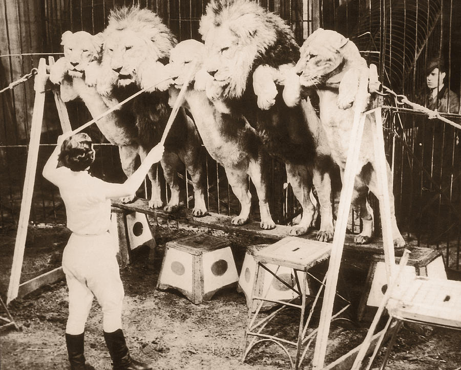 Woman Training Circus Lions, Rear View Photograph by Fpg
