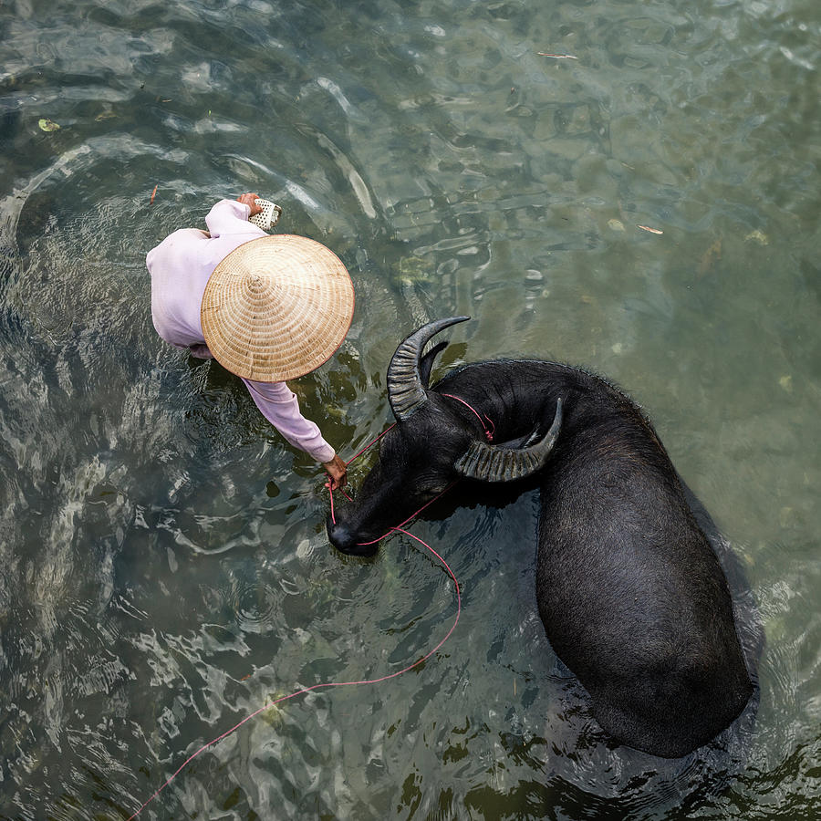 Woman With Water Buffalo In Small River Photograph by Martin Puddy