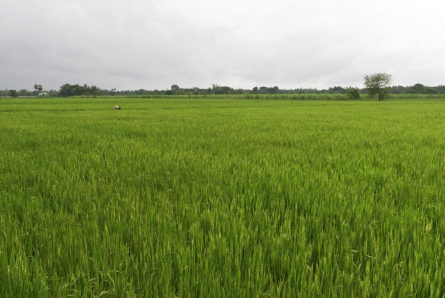 Woman Working In Rice Field Photograph by John Elk Iii