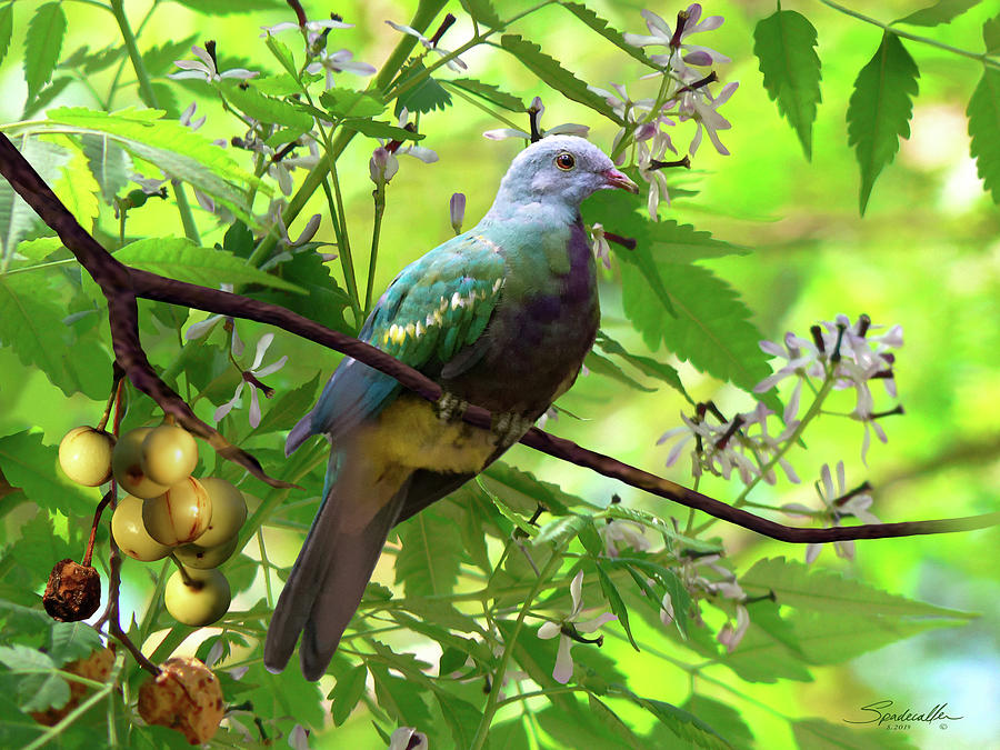 Wompoo Fruit Dove by Spadecaller