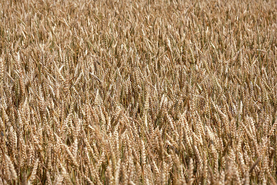 Field Photograph - Wonderful Wheat by Todd Klassy