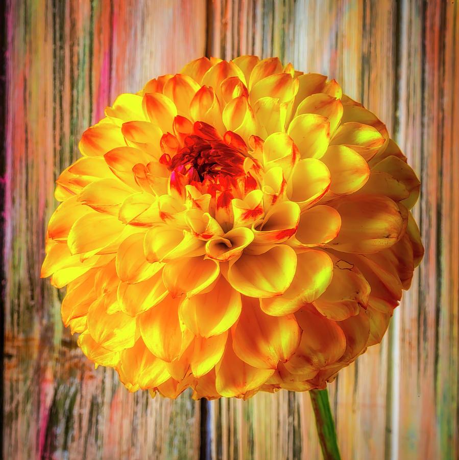Dahlia Photograph - Wonderful Yellow Red Dahlia by Garry Gay