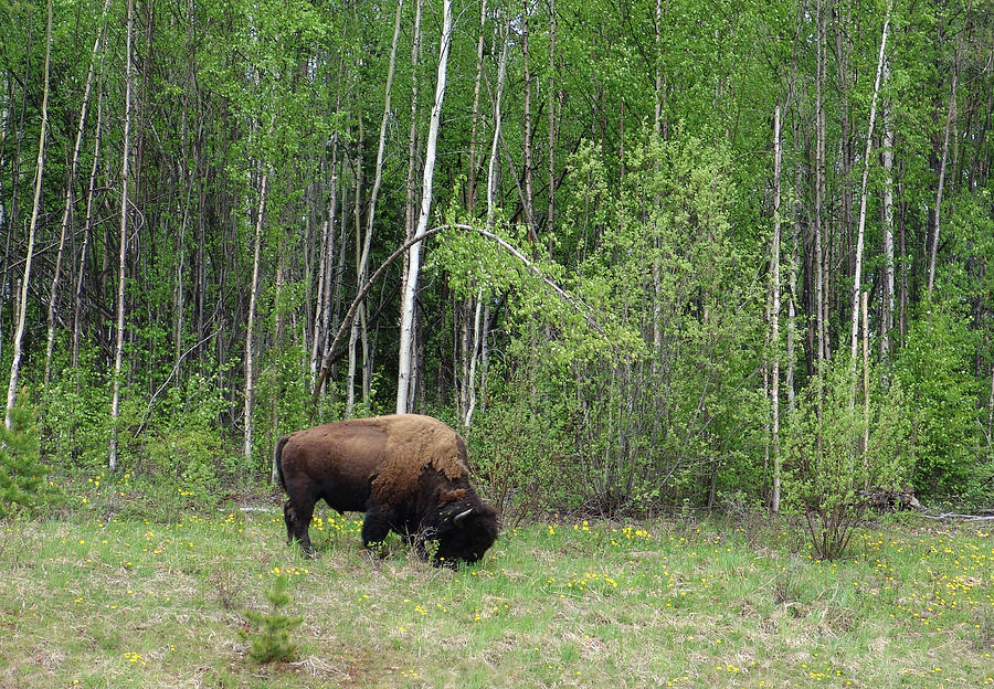Wood Bison Yukon Canada Photograph