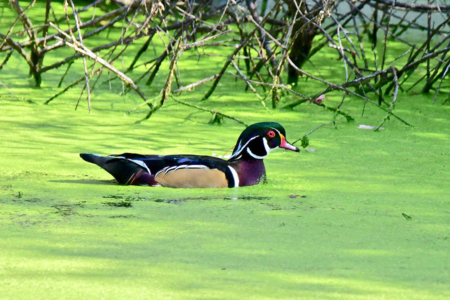 Wood Duck at Shiawassee 8535 by Michael Peychich