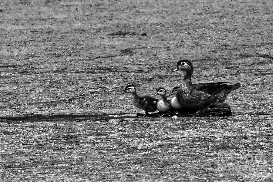 Wood Duck Chicks Photograph