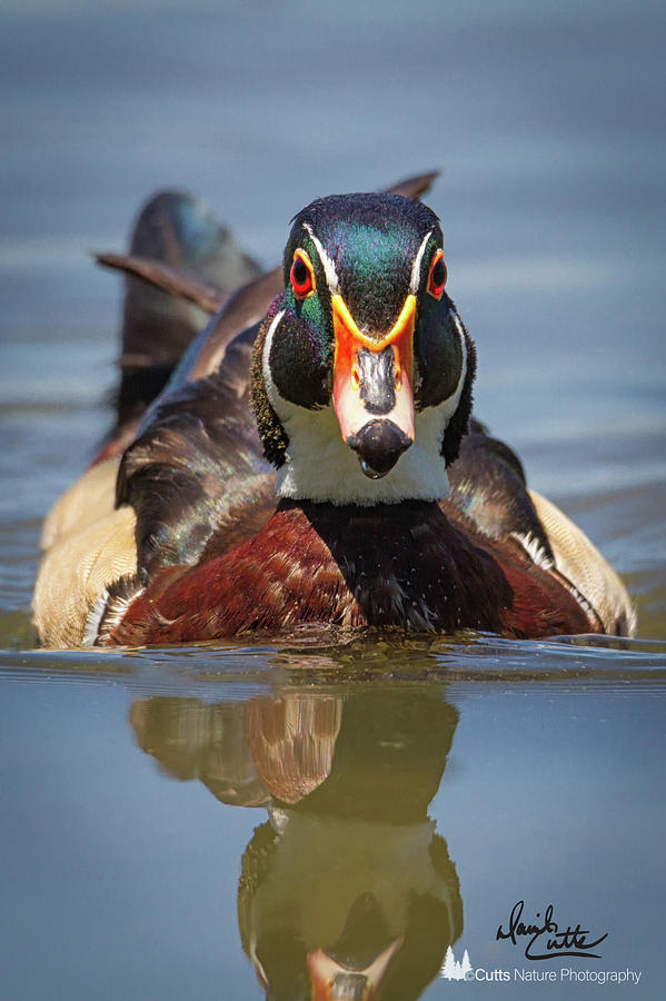 American Photograph - Wood Duck Face First by David Cutts