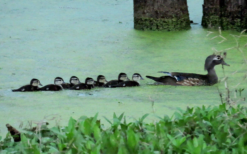 Wood Duck Family by Betty Berard