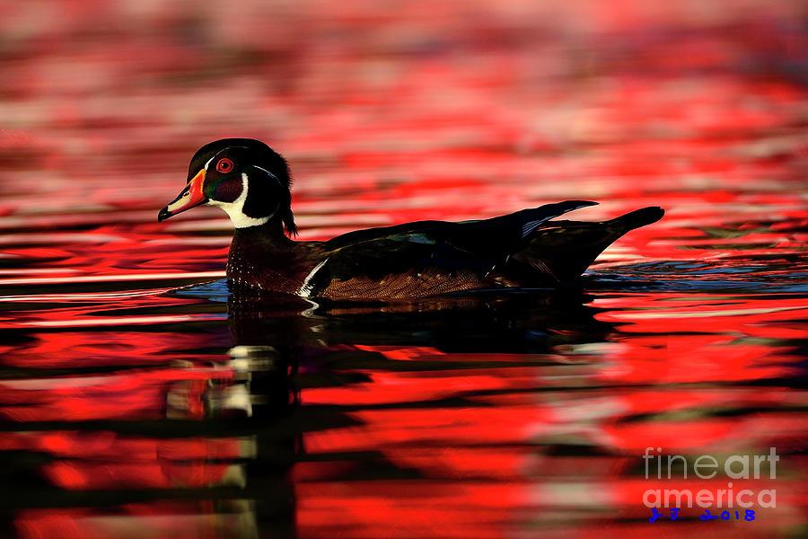 Wood Duck Glide Photograph
