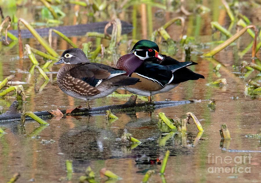 Wood Duck Pair by Mike Dawson
