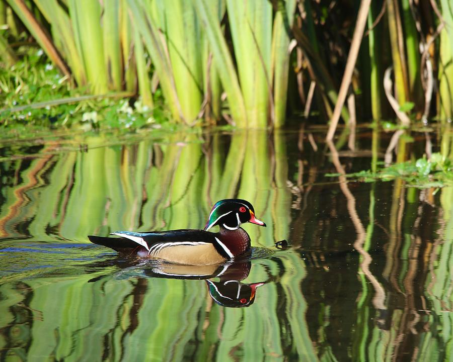 Wood Duck Reflection 1 by Todd Kreuter