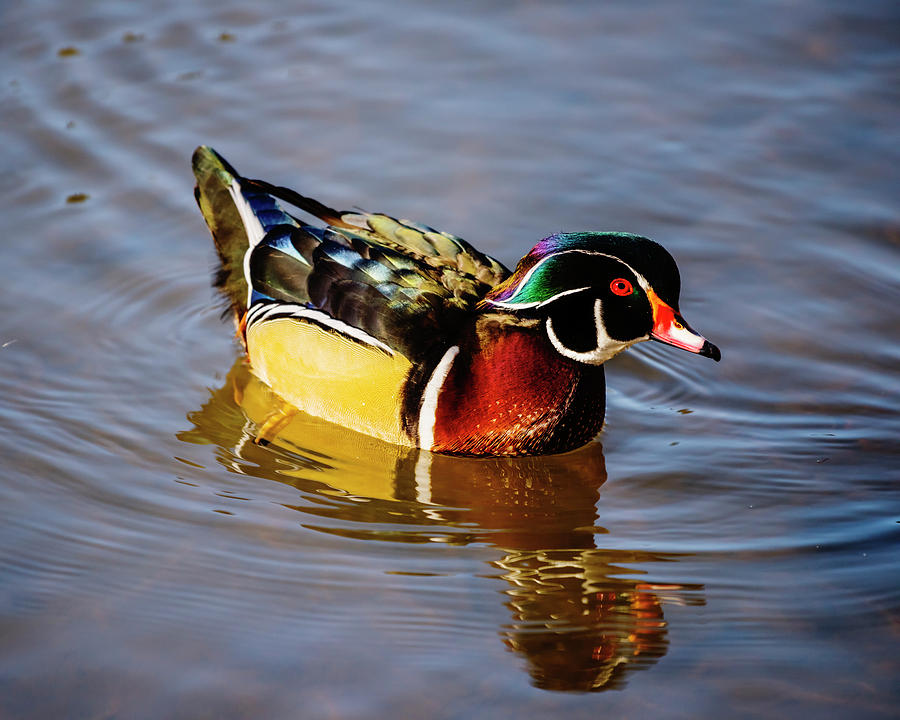 Wood duck by Vishwanath Bhat