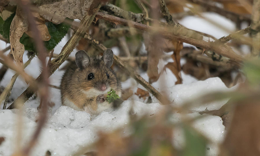 Wood Mouse by Wendy Cooper