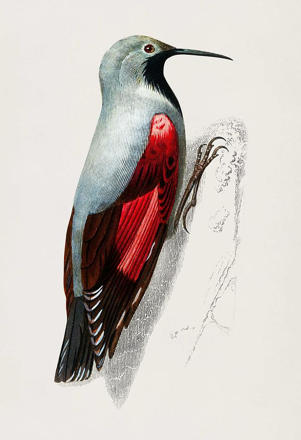 Wood Nuthatch sitta Europia Wood Nuthatch illustrated by Charles Dessalines D Orbigny  1806 1876  by Celestial Images