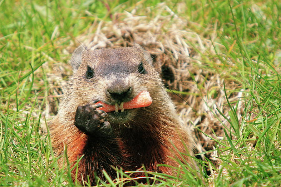 Woodchuck In Hole Eating Carrot Photograph by David R. Tyner
