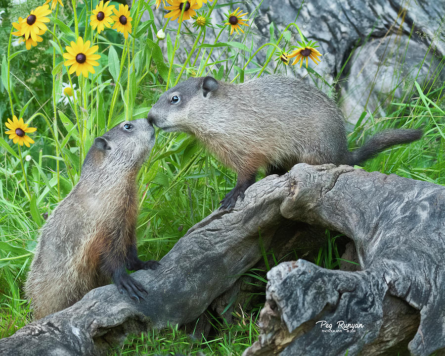 Woodchuck Love by Peg Runyan