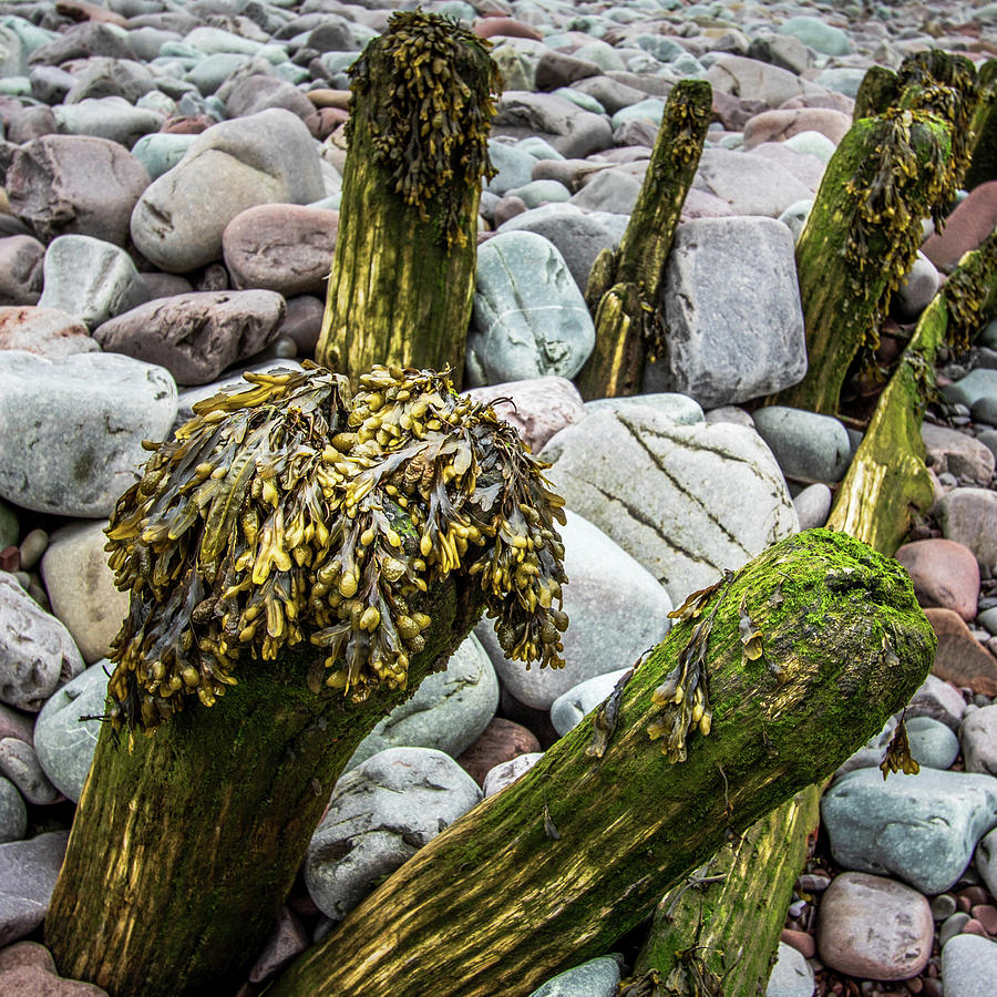 wooden groynes with seaweed by Chris Smith