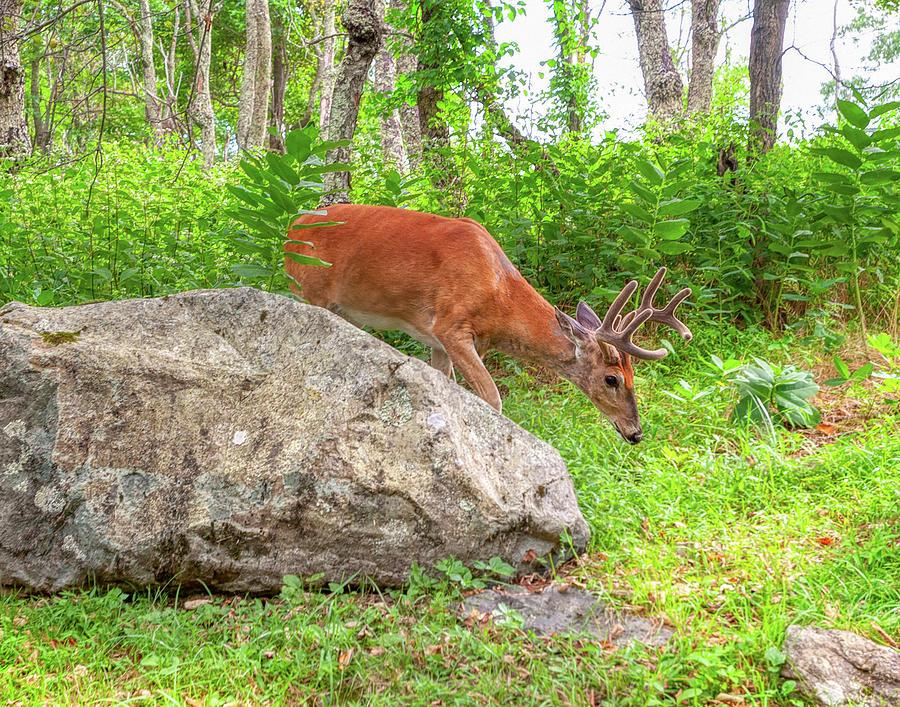 Woodland Buck by Lara Ellis