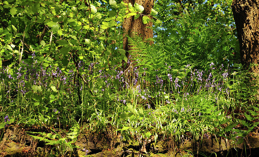 Woodland ferns and bluebells by Philip Openshaw