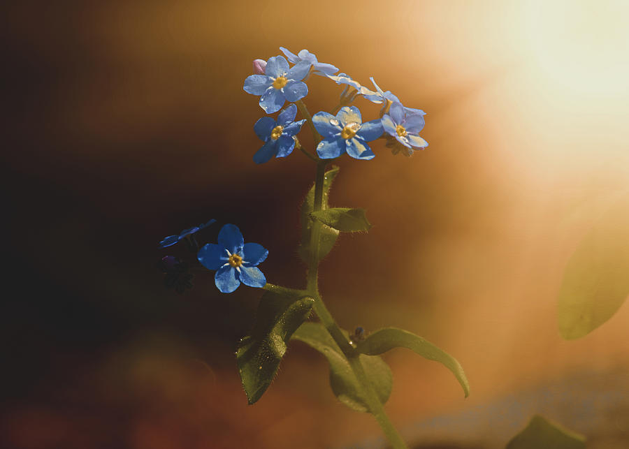 Woodland Forget-Me-Not by Bob Orsillo